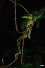 The Hunter and the hunted. (harshithjv) Tags: reptile snake frog green glidingfrog vinesnake greenvinesnake malabarglidingfrog hunt ahaetulla nasuta reptilia squamata serpentes serpent colubridae rhacophorus malabaricus anura amphibia lissamphibia neobatrachia rhacophoridae rhacophorinae canon 80d tamron macro 90mm