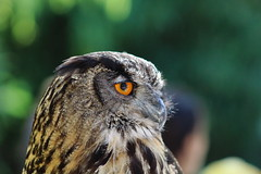 Eagle Owl (W@nderluster) Tags: owl birds animals canon eos 75300mm zoom torino piemonte italy italia piedmont turin cumiana nature woods natura fly lipu