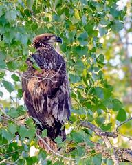American Bald Eagle / Juvenile (corkemup52) Tags: baldeagle americanbaldeagle eagles eagle birds juvenile juvy nebraska nature nikond7000 200500 nikon outdoors wildlife nationaleaglecenter