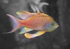 Fahnenbarsch (to.wi) Tags: barsch fahnenbarsch fisch fish aquarium towi wilhelma