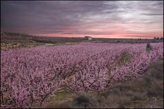 Entre el cielo y la tierra. (antoniocamero21) Tags: amanecer melocotoneros flor casa color foto sony aitona lleida catalunya nubes nwn