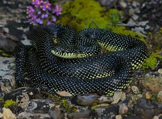 Speckled King Snake (Lampropeltis getula holbrooki)
