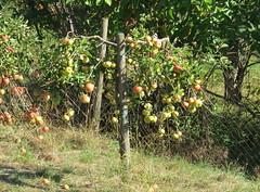 Apfelbäume (thobern1) Tags: enzkreis badenwürttemberg germany apfel apfelbaum äpfel apples pommes