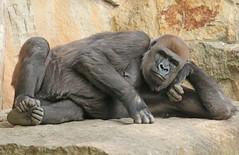 western lowlandgorilla Berlin Zoo JN6A4985 (j.a.kok) Tags: westelijkelaaglandgorilla westernlowlandgorilla lowlandgorilla laaglandgorilla gorilla animal africa afrika aap ape primate primaat mammal monkey mensaap zoogdier dier berlijn berlijnzoo