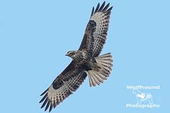 Common Buzzard Juvenile (Wolfhound_Photography) Tags: commonbuzzard buzzard raptor bif birdinflight birdofprey