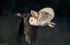 Barn Owl and a black marauder (Steve (Hooky) Waddingham) Tags: bird british countryside coast nature northumberland wild wildlife mice voles prey flight