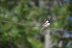 2018-09-10 Bird Watching 14 (s.kosoris) Tags: skosoris nikond3100 d3100 nikon bird birds chickadee camp huronian