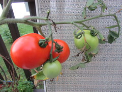 Tomatoes on the vine (creed_400) Tags: belmont west michigan summer september