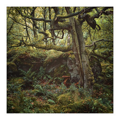Changing 2 (gerainte1) Tags: yorkshire trees woodland autumn colour film velvia50 hasselblad501