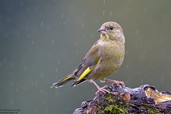Greenfinch, Carduelis chloris (Kevin B Agar) Tags: britishbirds carduelischloris greenfinch hawkswickcote littondale thedales