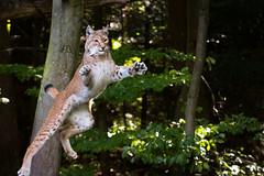 Lynx (Cloudtail the Snow Leopard) Tags: luchs lynx katze cat feline animal tier säugetier mammal beutegreifer predator pinselohr jump jumping wildpark pforzheim