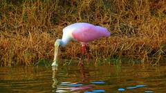 Roseate Spoonbill at Sunset (Jim Mullhaupt) Tags: roseatespoonbill spoonbill wader bird water pond lake swamp wildlife nature landscape background wallpaper outdoor bradenton florida manateecounty nikon coolpix p900 jimmullhaupt photo flickr geographic picture pictures camera snapshot photography nikoncoolpixp900 nikonp900 coolpixp900