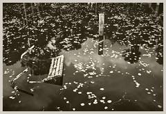 Lake George #1 2004; Old Bench (hamsiksa) Tags: blackwhite film transparency slide scanned digital landscape water lakes freshwater lakegeorge saintjohnsriver florida volusiacounty swamp marsh wetlands