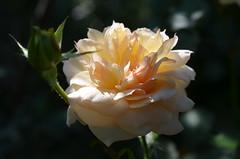 Цветок нежности и любви. (Angelok-Happy) Tags: роза лето сад нежность любовь природа чудо красота