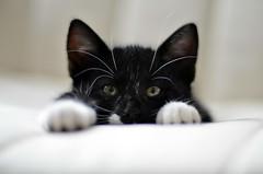 _DSC9753 (Raphistole) Tags: kitty cat chat chaton d7000 50mm f14 nikon nikkor bokeh kitten