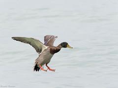 EM182323_DxO.jpg (riccardof55) Tags: uccelli germanoreale birdwatching lazise