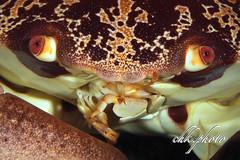 Hungry crab (chk.photo) Tags: aegypt animal diving nature ocean scuba tauchen dive natur naturemasterclass naturewatcher