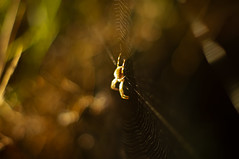 Lurker (ecstaticist - evanleeson.com) Tags: spider bokeh darkness sunrise morning web nature arachnid