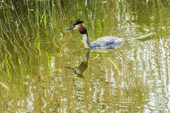 Great crested grebe (Fuut) (Only photoshoot, don't be afraid) Tags: fuut grebe greatcrestedgrebe