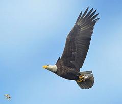 Mature Bald Eagle With Fish Over The Cedar River (Vidterry) Tags: eagle baldeagle baldeagleinflight baldeaglewithfish cedarriver nikond4s nikkor80400mm 400mm 14000thf11 ev10