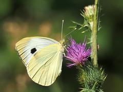 PIERIS BRASSICAE  - LARGE WHITE (quarzonero ...Aldo A...) Tags: pierisbrassicae largewhite butterfly farfalla coth