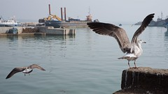 Seagulls 02 (pan_orama) Tags: marokko maroc morocco essaouira beach harbour seagulls fish sun color travel