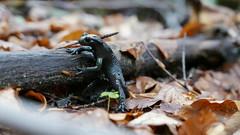 Alpensalamander (Aah-Yeah) Tags: alpensalamander salamander salamandra atra achental chiemgau bayern