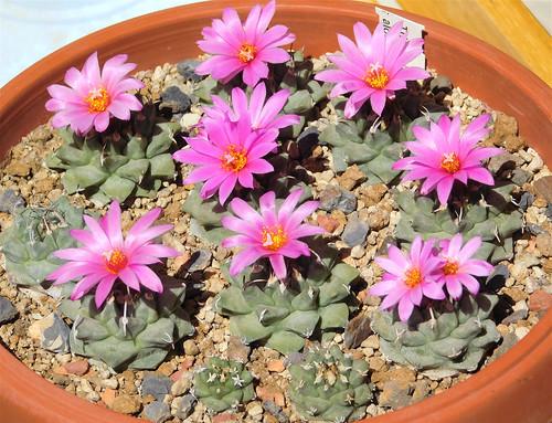 Turbinicarpus alonsoi group flowering