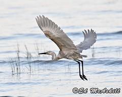 Reddish Egret (Ed McAskill) Tags: reddish egret edmcaskill