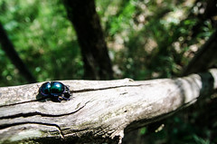 Beetle on a branch in Val Rosandra (stefaniapastur) Tags: wood insect green wild beetle italy nature summer light season
