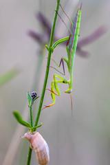 cache-cache ! (heiserge) Tags: france arnaville macro prayingmantis insectes mantereligieuse snail mollusques rudemont lorraine escargot europe meurtheetmoselle chardon macrophotographie animal animaux