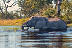 A Bite to Eat (mclcbooks) Tags: elephant animal wildlife safari africa botswana okavangodelta moremicrossing river grass eating portrait
