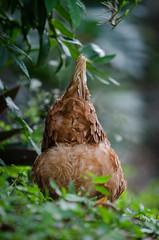 Isa (mcvmjr1971) Tags: 2018 d7000 casa chicken galinha home izabrown mmoraes nikon niteroi pendotiba quintal rural volaprogresso