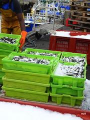 Débarquement de la sardine (mchub) Tags: débarquement sardine bateau port hx400v laturballe loireatlantique paysdelaloire poisson