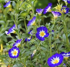 REFORD GARDENS | CONVOLVULUS TRICOLOUR  ROYAL ENSIGN    |  LISERON ROYAL MARINE |   LES JARDINS DE MÉTIS  | QUEBEC  |  GASPESIE   |  CANADA (C C Gosselin) Tags: reford gardens | convolvulus tricolour royal ensign liseron marine les jardins de métis quebec gaspesie canada dwarf morningglory canon 7d 7dmarkii rebel t2i canonrebelt2i eos canon7d markii rebelt2i canonrebel canont2i eost2i eos7d eos7dmarkii mark 2 mark2 eos7dmark2 canon7dmarkii ii canoneosrebelt2i canoneos7d canoneos ph:camera=canon