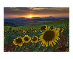 (david Ramalleira) Tags: davidramalleira davidramalleiraphotography nikon landscape landscapes paisaje nature naturaleza natureart naturephotography naturesfinest naturesart natura sunflower sunset