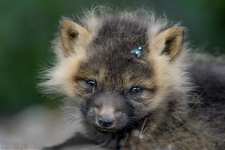 Cross red fox kit / Renardeau roux croisé