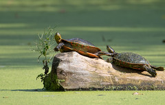 It's Not Easy Being Green (Mark Polson) Tags: animal painted turtle minnesotalandscapearboretum tree snag