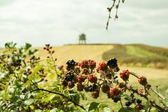 20180818-49b_Chesterton Windmill from Windmill Hill Lane (gary.hadden) Tags: chesterton windmill warwickshire warks landscape unique architecture rural blackberry bramble fruit hedgerow sails