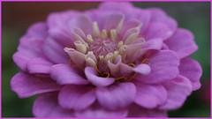 Douceur violette (passionpapillon) Tags: macro pastel violet purple fleur flower zinnia passionpapillon 2018