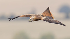 Red kite (cliveyjones) Tags: redkite