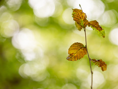 Change (Future-Echoes) Tags: 4star 2018 bokeh change depthoffield dof leaf leaves nature sparkeywood wickhambishops woodland witham england unitedkingdom gb