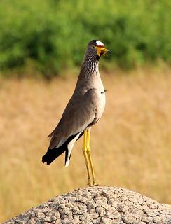 African Wattled Lapwing, Uganda