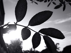 Morning. (ALEKSANDR RYBAK) Tags: утро восход солнце солнечный свет лучи литва деревья небо облака монохромный morning sunrise sun solar shine beams lithuania trees sky clouds monochrome tree