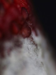 Berry IV (Sam Heltemes) Tags: strawberry berry mold abstract closeup macro seeds red white fuzzy gross ugly food