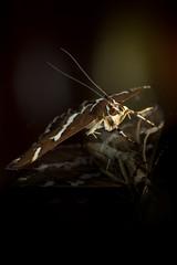 Moth on mirror (aliffc3) Tags: moth nikond750 sigma150apo macr macro
