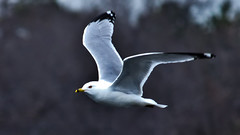 Ring Billed Gull (Bob's Digital Eye) Tags: april2018 bird birdsinflight bobsdigitaleye canon canonefs55250mmf456isstm fauna flicker flickr ringbilledgull t3i wildbirds wildlife depthoffield