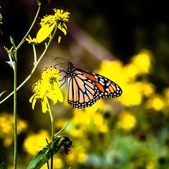 Monarch butterfly (Danaus plexippus) (paul graunke) Tags: monarchbuttterfly danausplexippus bokeh
