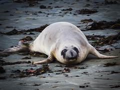 Northern Elephant Seal (Mirounga angustirostris) - Piedras Blancas, Big Sur, CA (Jun C Photography) Tags: olympus microfourthirds omd mkii ca sandiego hwy1 u43 californiacoast em5 sansimeon markii elephantseals mk2 mft piedrasblancas morrobay elephantseal