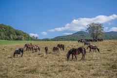 Bieszczadzkie konie (PanMajster) Tags: horse horses koń konie bieszczady biesy góry mountains animals nature natura grass trawa weed zioła pentax k3ii sigma 1835